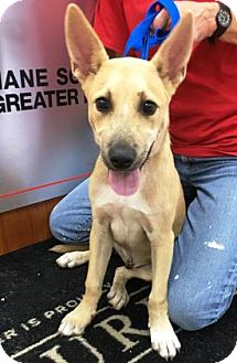 German Shepherd Dog Mix Puppy for adoption in Miami, Florida - Sawyer