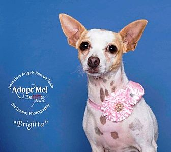 chihuahua rescue houston houston tx chihuahua meet briggitta a dog for adoption 8337