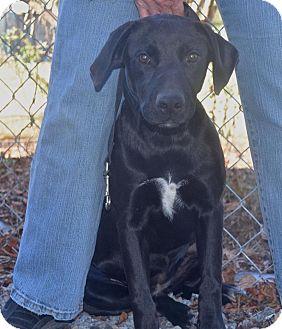 Labrador Retriever Mix Puppy for adoption in Baltimore, Maryland - Willow