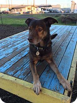 Chow Chow/Labrador Retriever Mix Dog for adoption in The Dalles, Oregon - Carl