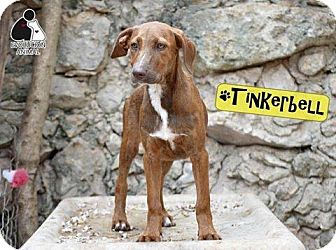 Plott Hound/Labrador Retriever Mix Dog for adoption in St. Catharines, Ontario - Tinkerbell