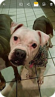 Pit Bull Terrier Mix Dog for adoption in Westminster, Maryland - Pippa