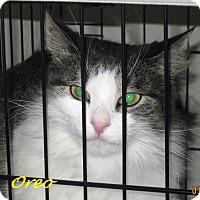 Adopt A Pet :: Oreo - Chisholm, MN
