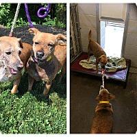Adopt A Pet :: Sissy - Lancaster, PA