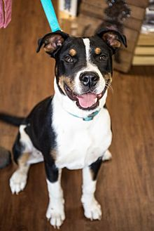 Boxer Mix Puppy for adoption in Little Rock, Arkansas - Milo