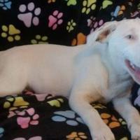 Adopt A Pet :: Joy - justin, TX