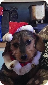 Yorkie, Yorkshire Terrier/Dachshund Mix Dog for adoption in Anderson, South Carolina - Mia
