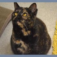 Adopt A Pet :: Jenny - Novelty, OH