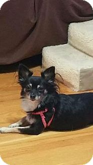 Chihuahua Mix Dog for adoption in Newport, Kentucky - Wilma (bonded with Betty)
