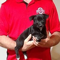 Adopt A Pet :: Bella - Gahanna, OH