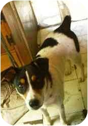 Fox Terrier (Smooth)/Australian Cattle Dog Mix Dog for adoption in Ferryville, Wisconsin - Jed