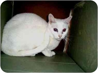 Domestic Shorthair Cat for adoption in North Plainfield, New Jersey - PeeWee