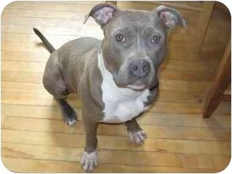 American Pit Bull Terrier Mix Dog for adoption in Worcester, Massachusetts - Delilah