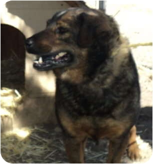 Chow Chow/Labrador Retriever Mix Dog for adoption in Pie Town, New Mexico - GENIE