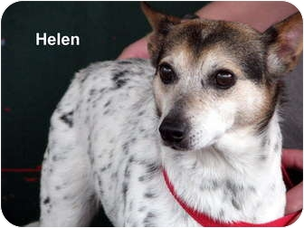 Rat Terrier Mix Dog for adoption in Gallatin, Tennessee - Helen