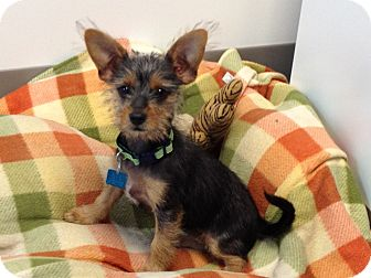 Terrier (Unknown Type, Small) Mix Dog for adoption in Houston, Texas - Scarlet