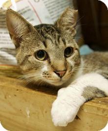 Domestic Shorthair Cat for adoption in Medford, Massachusetts - Watson