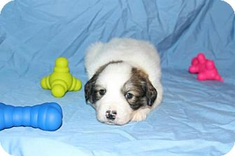 Great Pyrenees Mix Puppy for adoption in Stilwell, Oklahoma - Charlie