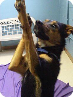 Shepherd (Unknown Type)/Border Collie Mix Dog for adoption in Staunton, Virginia - Adar