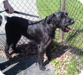 Schnauzer (Giant) Mix Dog for adoption in North Benton, Ohio - Baxter