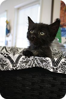 Domestic Mediumhair Kitten for adoption in Huntsville, Alabama - Jaden