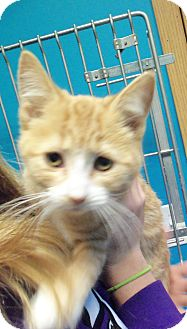 Domestic Shorthair Kitten for adoption in Brookings, South Dakota - Jude