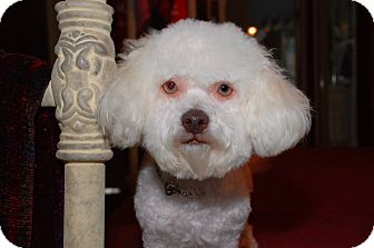 Poodle (Toy or Tea Cup) Mix Dog for adoption in La Canada, California - Gracie