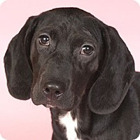 Adopt A Pet :: Harlow*ADOPTED!* - Chicago, IL