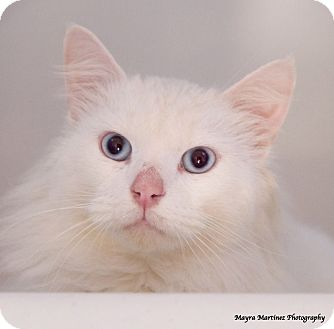 Domestic Longhair Cat for adoption in Chattanooga, Tennessee - Casper