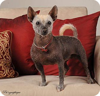 Xoloitzcuintle/Mexican Hairless Dog for adoption in Henderson, Nevada - Effie