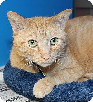 Domestic Shorthair Cat for adoption in Port Washington, New York - Einstein