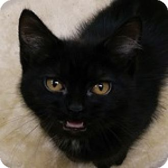 Domestic Shorthair Kitten for adoption in Wheaton, Illinois - Onyx