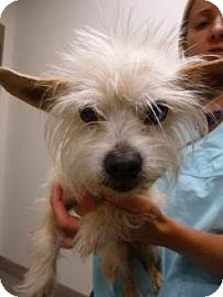 Terrier (Unknown Type, Medium) Dog for adoption in Truckee, California - Scooter