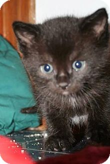 Domestic Shorthair Kitten for adoption in Hamilton, Ontario - Gumball