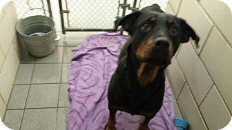 Rottweiler Dog for adoption in Rexford, New York - Cloe