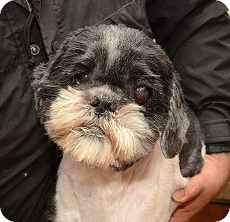 Shih Tzu Mix Dog for adoption in Urbana, Ohio - Sheldon Harris
