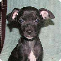 Adopt A Pet :: Apple - Ball Ground, GA