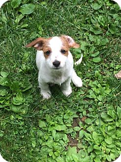 Terrier (Unknown Type, Small) Mix Puppy for adoption in New York, New York - Tiny Tim (Zane)