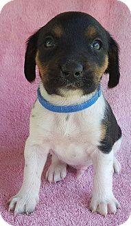Beagle Puppy for adoption in Somonauk, Illinois - Grover (Blue Boy}