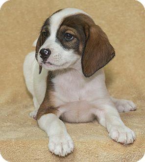 Hound (Unknown Type) Mix Puppy for adoption in Elmwood Park, New Jersey - Mutt
