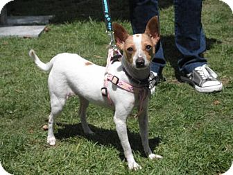 Rat Terrier/Chihuahua Mix Dog for adoption in Imperial Beach, California - Margarita