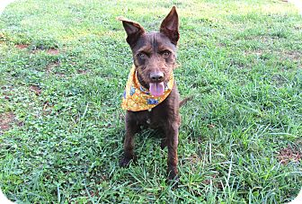 Terrier (Unknown Type, Medium) Mix Dog for adoption in Lexington, North Carolina - RYDER