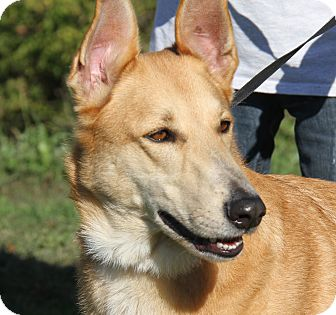 Shepherd (Unknown Type) Mix Dog for adoption in Marietta, Ohio - Bear (Neutered)
