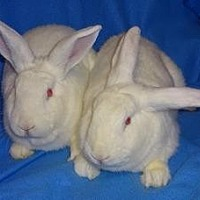 Adopt A Pet :: Wilson - Woburn, MA