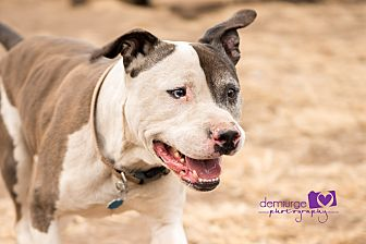Pit Bull Terrier/Catahoula Leopard Dog Mix Dog for adoption in Manhattan, Kansas - Vinny