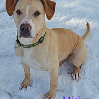 Labrador Retriever/Pit Bull Terrier Mix Dog for adoption in Fryeburg, Maine - Mickey