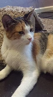 Domestic Shorthair Cat for adoption in Scottsdale, Arizona - Lady Di