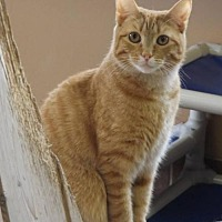 Domestic Shorthair Cat for adoption in Martinsburg, West Virginia - Ted