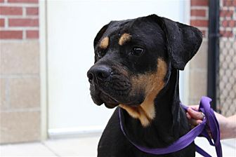 Rottweiler/Boxer Mix Dog for adoption in Fairfax Station, Virginia - Atticus