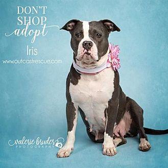 Pit Bull Terrier Mix Dog for adoption in Catasauqua, Pennsylvania - Iris